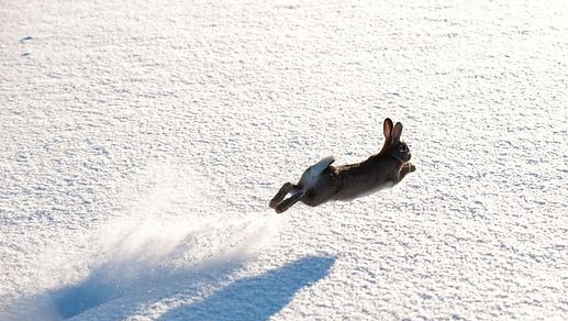 Rabbit running in snow.