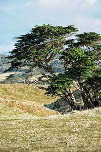 kihiti puu
